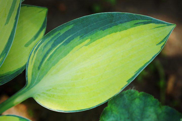 Hosta 'June' ©Marina - stock.adobe.com