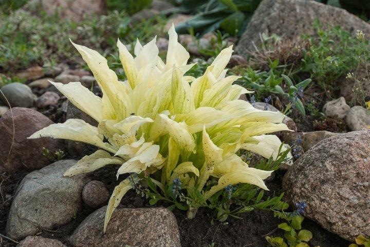Hosta 'White Feathers' ©Marta Jonina - stock.adobe.com
