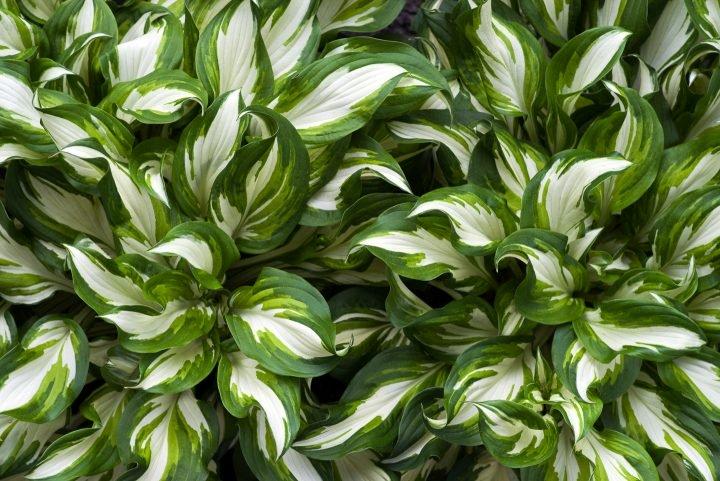 White variegated Hosta undulata 'Medio Variegata'