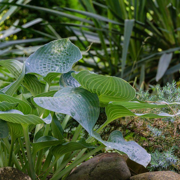 Giant Hosta 'Blue Angel' ©Alexander - stock.adobe.com