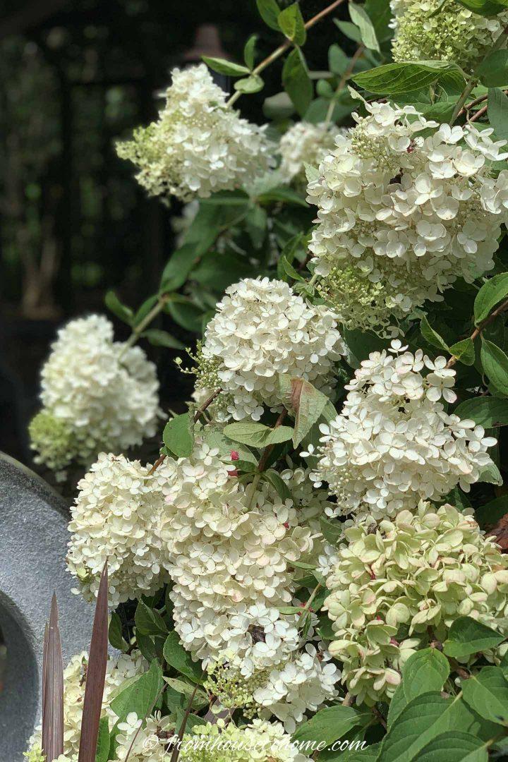 Hydrangea paniculata 'Pee Gee' in bloom