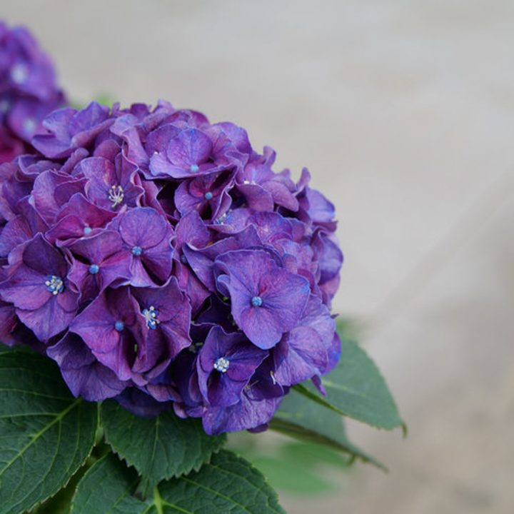 Wee Bit Grumpy® Bigleaf Hydrangea grown in acidic soil