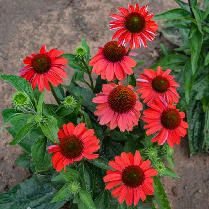 Color Coded™ 'Frankly Scarlet' Coneflower