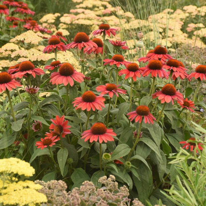 Echinacea planted with Yarrow