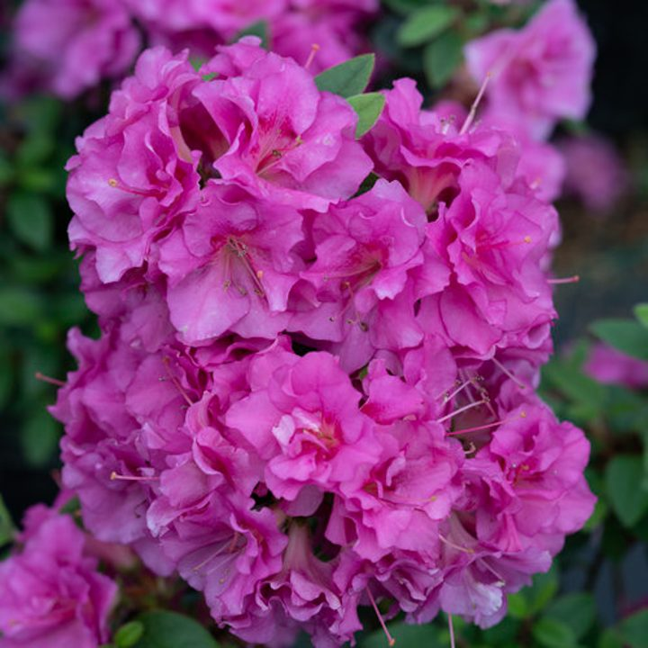 Perfecto Mundo® Double Purple Reblooming Azalea