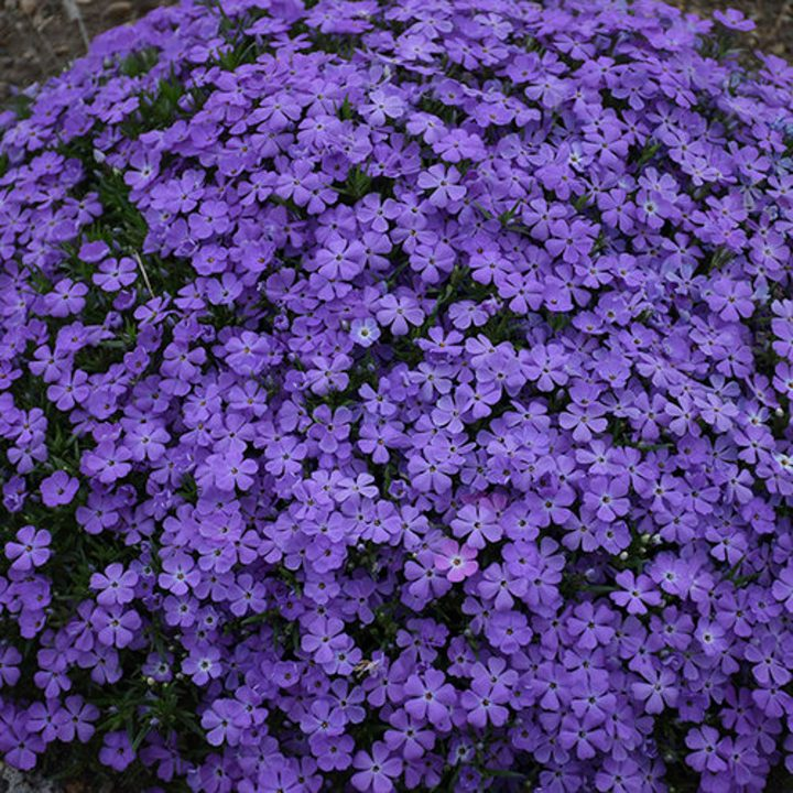 Mountainside™ 'Crater Lake' Spring Phlox