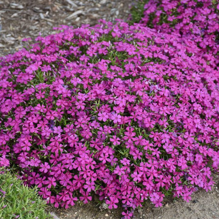Mountainside™ 'Majestic Magenta' Spring Phlox