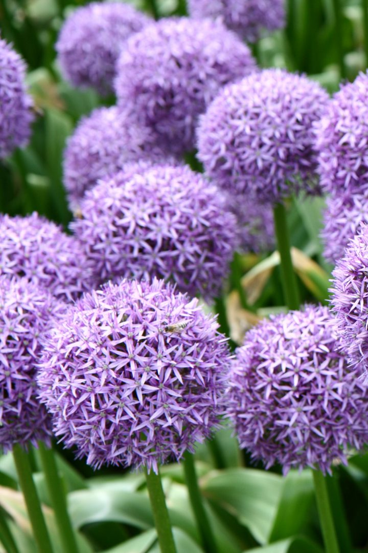 Alliums with purple flowers ©teine - stock.adobe.com