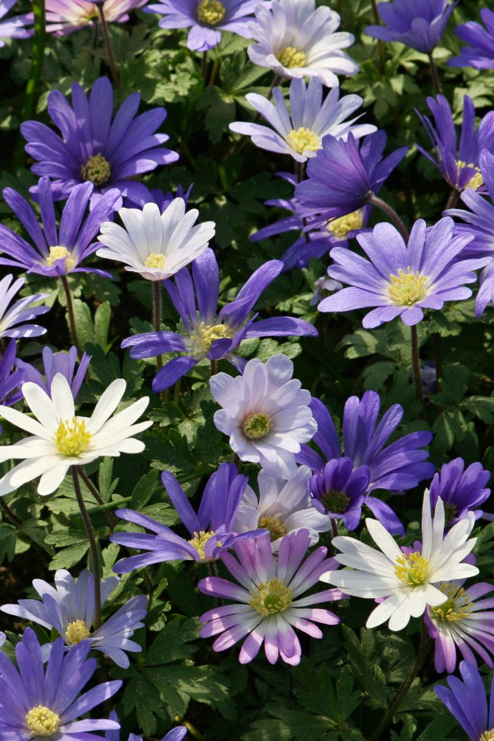 Purple, white and pink spring anemones (Anemone blanda) ©Jana - stock.adobe.com