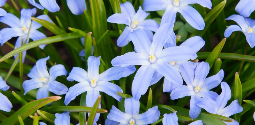 Bulbs to plant in fall - Chinodoxa