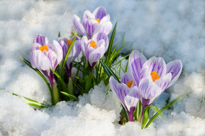 White and purple crocus flowers growing through the snow