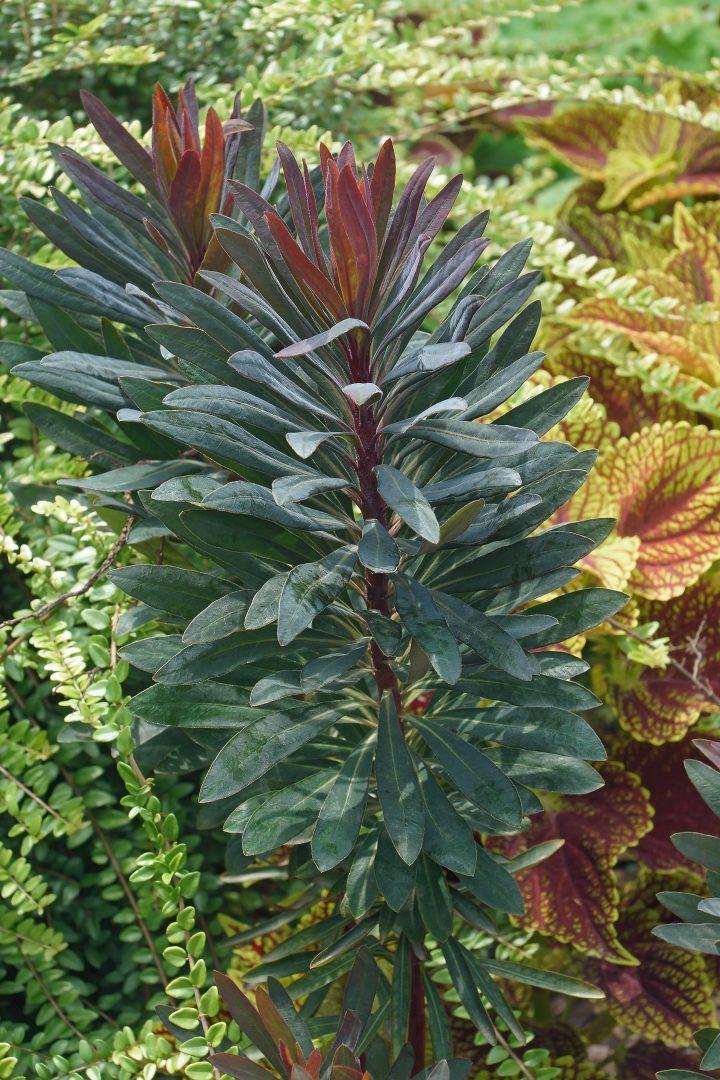 Blackbird spurge foliage (Euphorbia 'Blackbird') ©nickkurzenko - stock.adobe.com