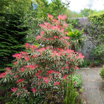 Pieris Japonica 'Red Head' growing in a courtyard garden