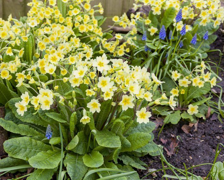 English primrose (Primula vulgaris) with yellow flowers
