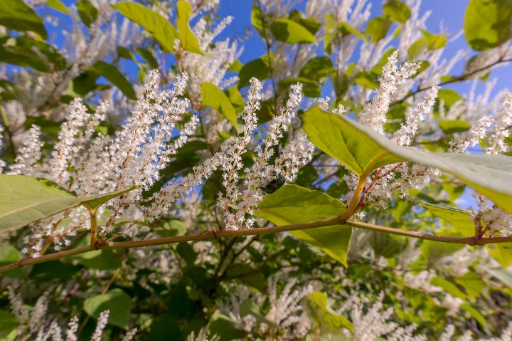 Virginia Sweetspire (Itea virginica) ©SeagullNady - stock.adobe.com