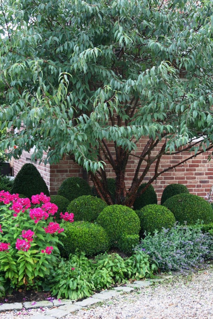 Pruned boxwoods growing under a tree ©EDEN - stock.adobe.com