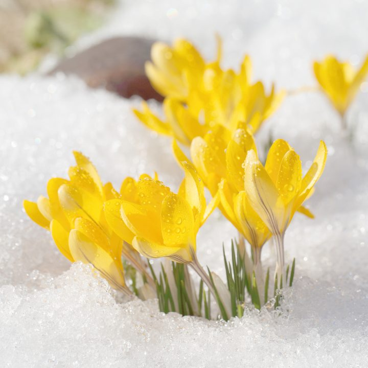 Winter Aconite blooming through the snow