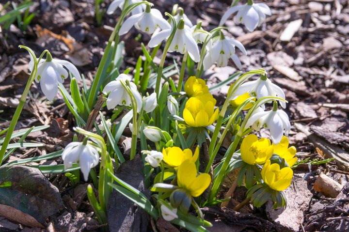 Winter Aconite blooming with Galanthus