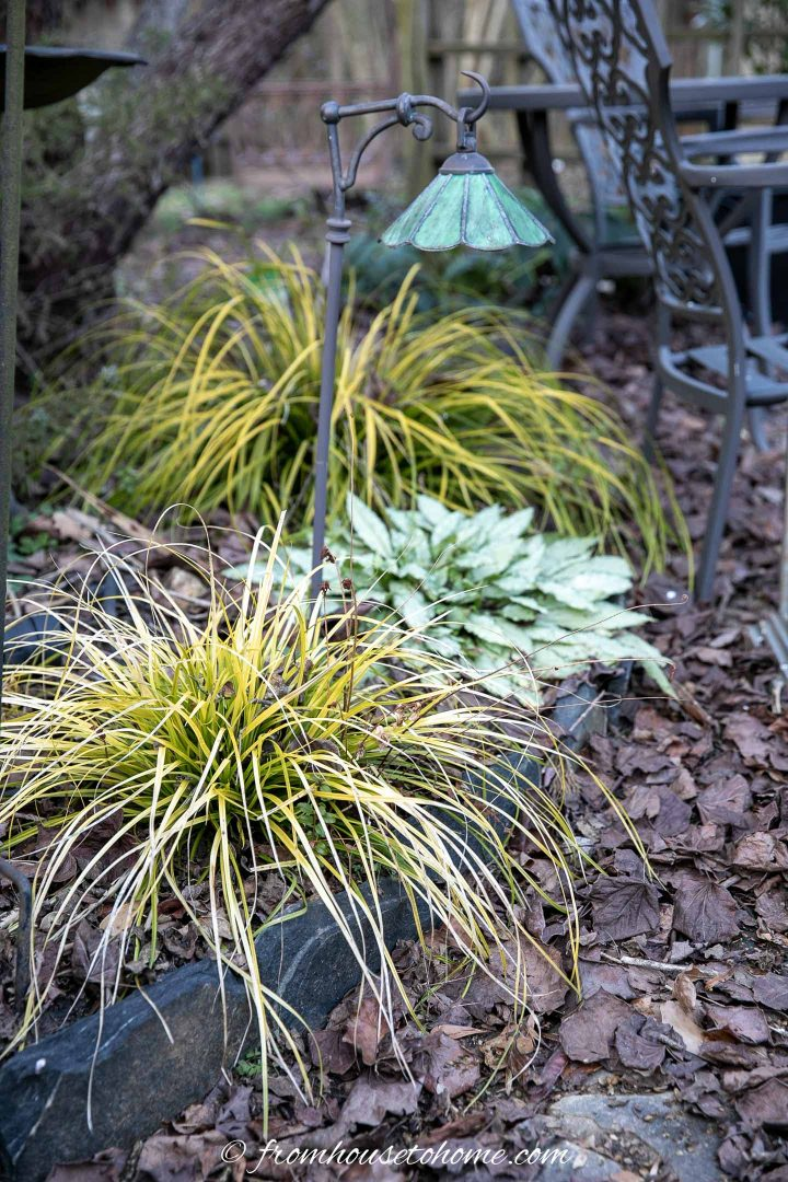Japanese sedge (Carex) in the garden