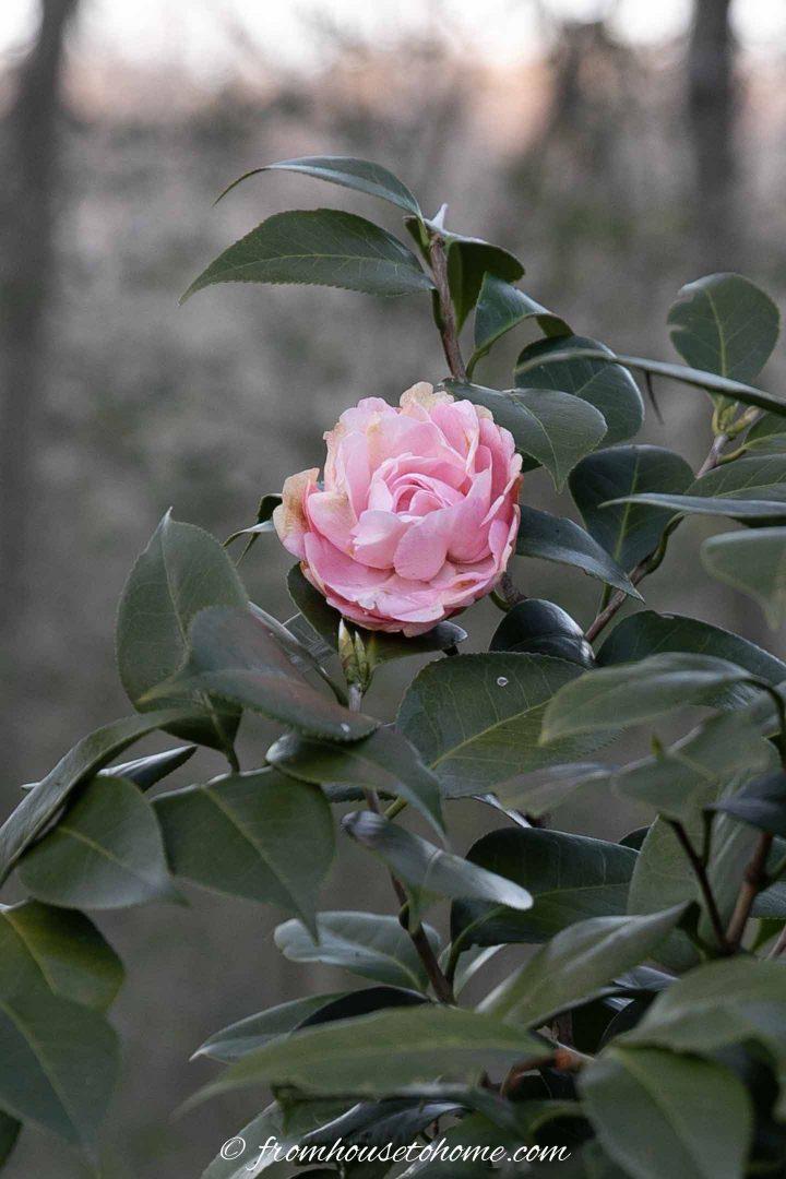 Debutante Camellia blooming