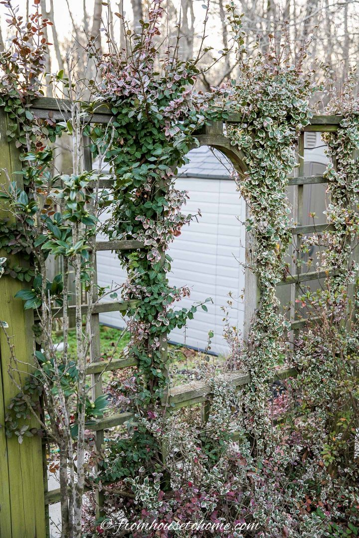 Wintercreeper (Euonymus fortunei) growing up a fence in the garden