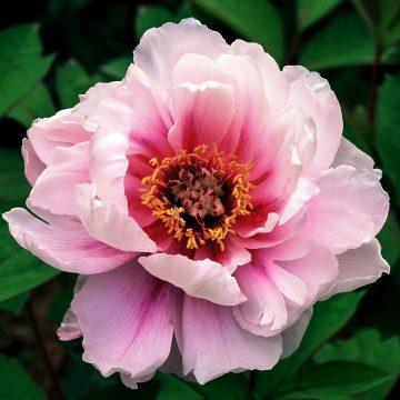 Pink tree peony flower