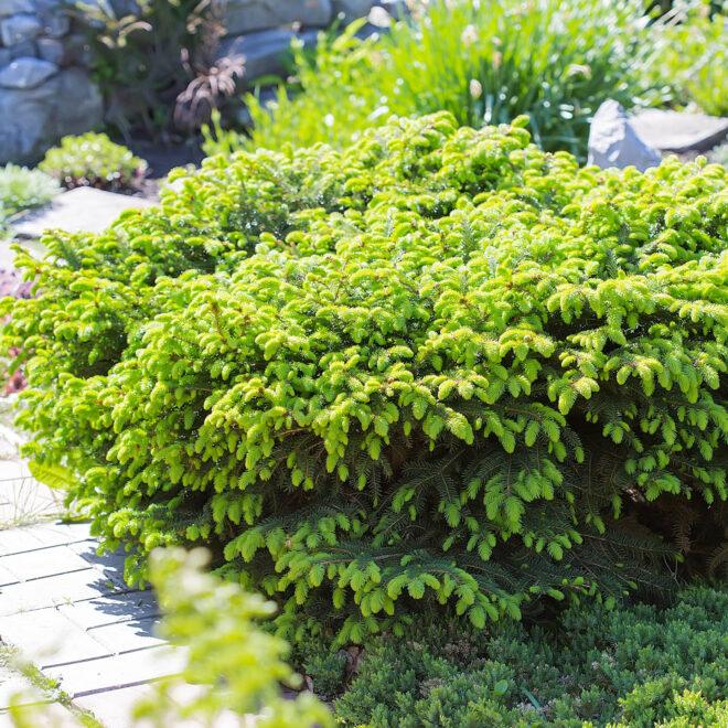 Bird's Nest Spruce - an evergreen shrub for full sun