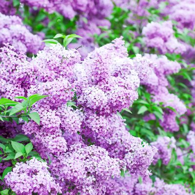 lilac bushes blooming