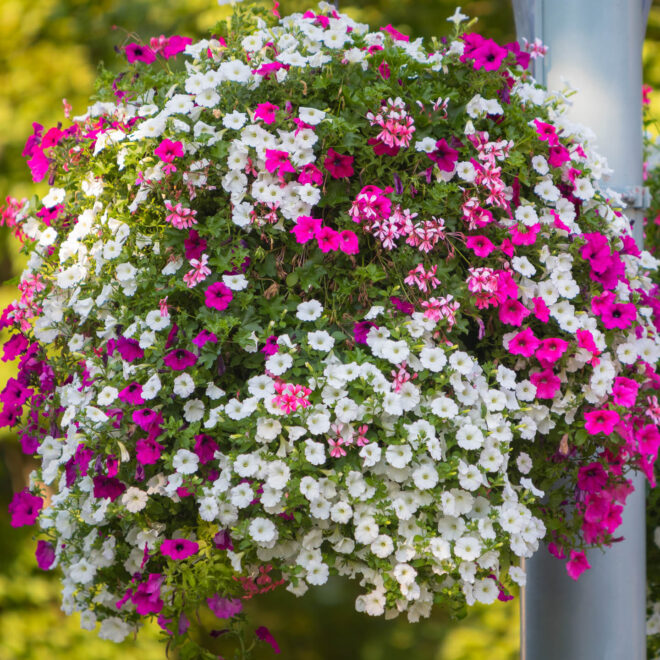 hanging basket with petunias and ivy geraniums