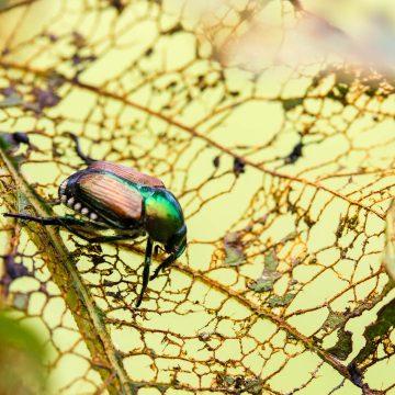 Japanese beetle eating a leaf