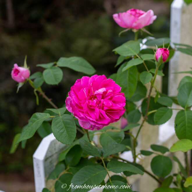 Pink rose in front of a white fence