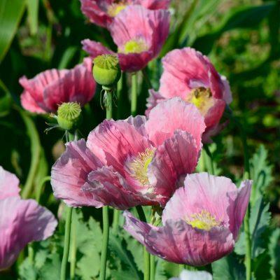 long-lived perennials - oriental poppy