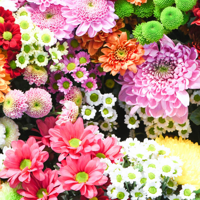 A collection of pink, white, yellow, green and orange Mums