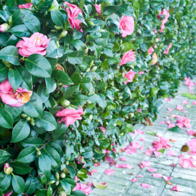 Camellia hedge