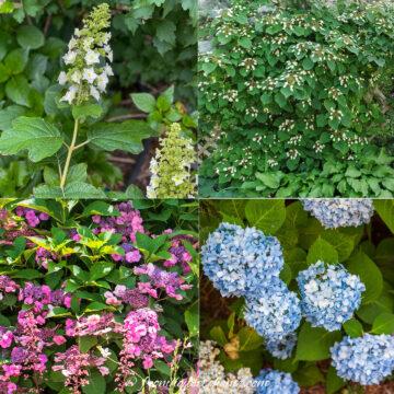 types of hydrangeas including oak leaf hydrangea, climbing hydrangea, mountain hydrangea and mophead hydrangea