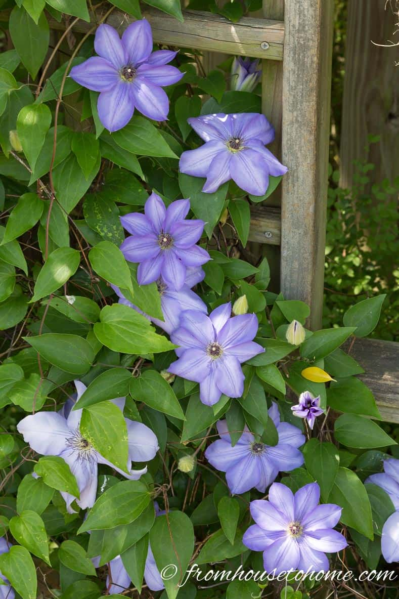 Clematis   One Room Challenge Week 3 Home Office Makeover: Distracted by Spring (and some painting)
