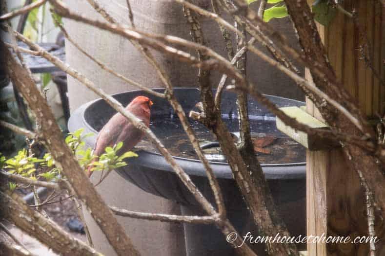 A bird at the birdbath