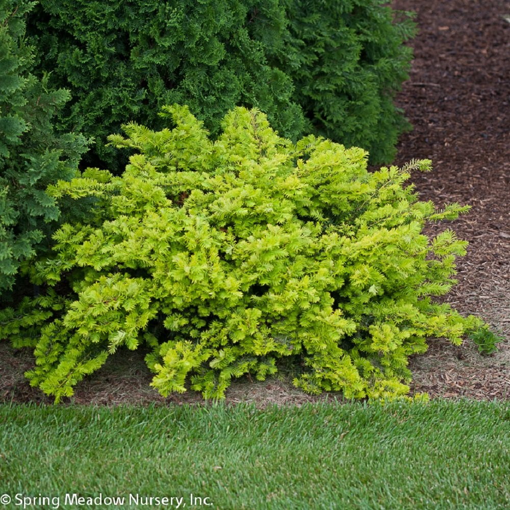 Shade loving shrubs 10 beautiful bushes to plant under trees for Garden yew trees