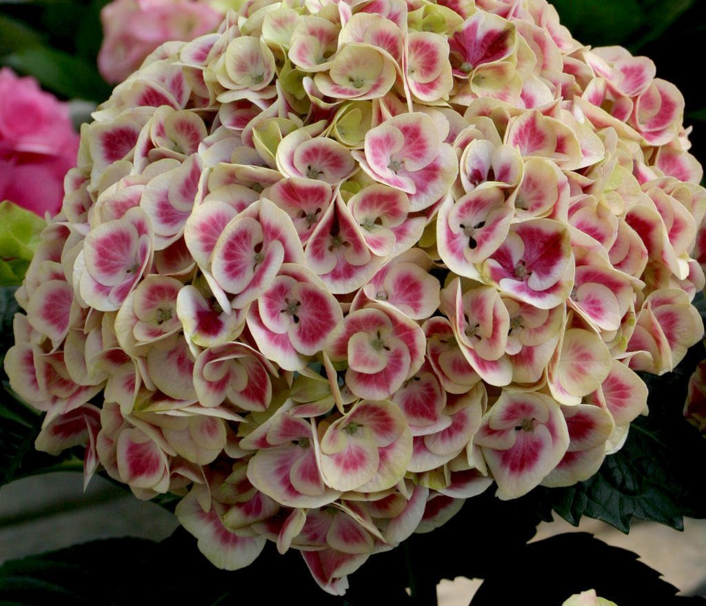 Why Are My Hydrangeas Not Blooming Page 2 Of 10