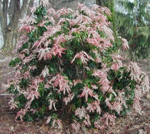 These tips on growing Pieris Japonica are the best! I love that it adds interest to the garden all year round. Now I know what to plant in the shady part of my backyard! Definitely pinning! | How To Grow Japanese Pieris