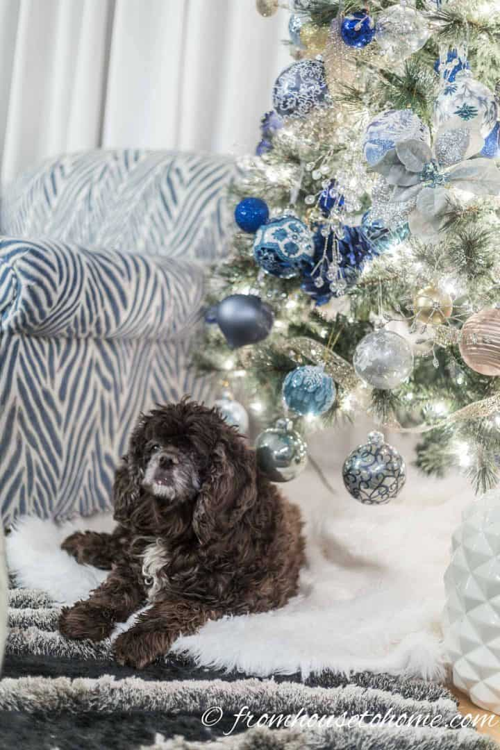 Winston on the faux fur tree skirt under the blue and white Christmas tree
