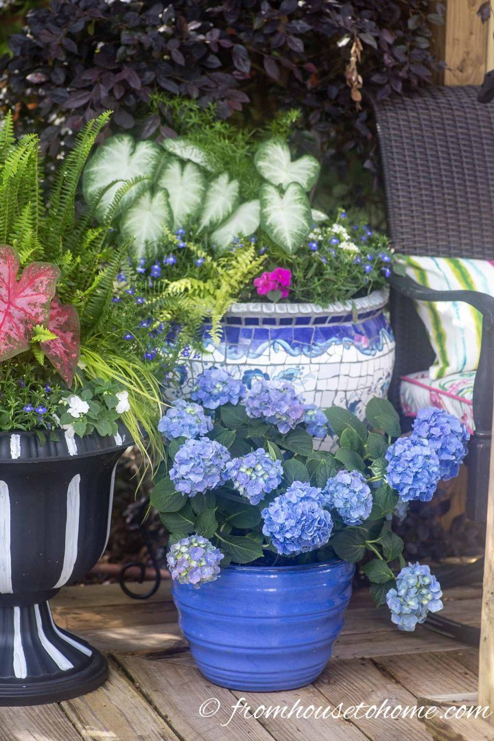 Blue and white containers planted with hydrangeas and caladiums on the deck