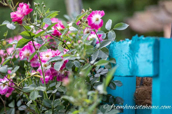 Pink roses against a turquoise trellis